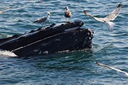 溫馨攏係假!海鷗絕殺鯨魚不手軟