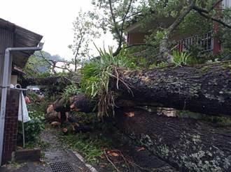 不敵豪雨 百年楓香樹倒伏壓8民宅