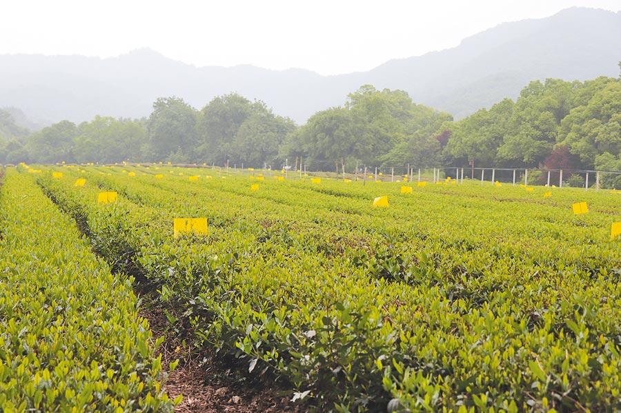 中國茶葉博物館一旁的龍井茶園。(記者呂佳蓉攝)
