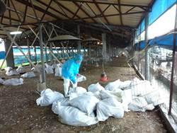 今年第五場 彰化縣爆土雞場染禽流感