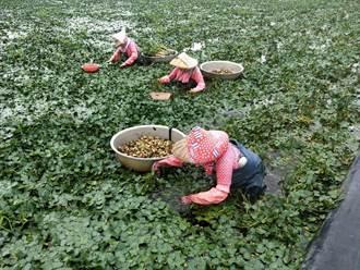 一期作收割後農民種菱角 早收四角菱搶鮮上市