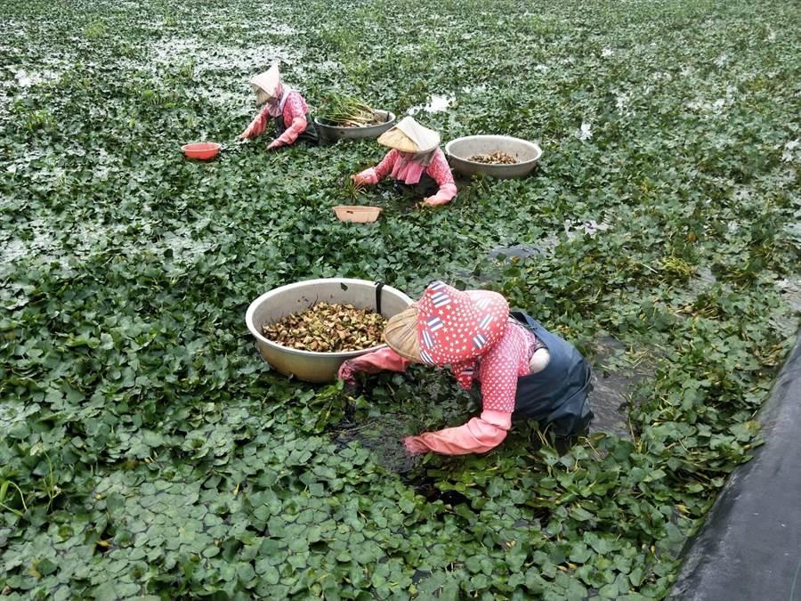 一期稻作結束後,農民才會開始種植菱角,但從大陸引進的四角菱品種生長期較早,在官田、下營一帶的四角菱田近期已經開始採收。(莊曜聰攝)