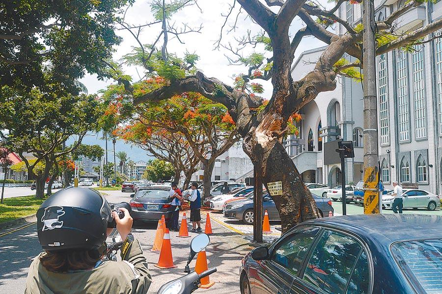 民眾不捨鳳凰木可能遭鋸除,在樹下拍照留念。(許家寧攝)