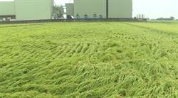 一期稻作就快收割 無情大雨稻田倒伏