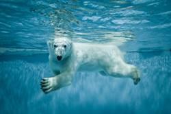 北極熊拋高死鳥「想救活牠」?神奇行為遊客驚呆