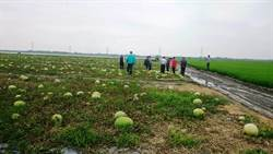 雲林西瓜「栽仔病」災損嚴重  65%瓜田都受損