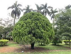 嘉和國小側柏 樹型優雅