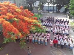 樹蔭下充滿回憶 鳳凰木成興仁國中校花