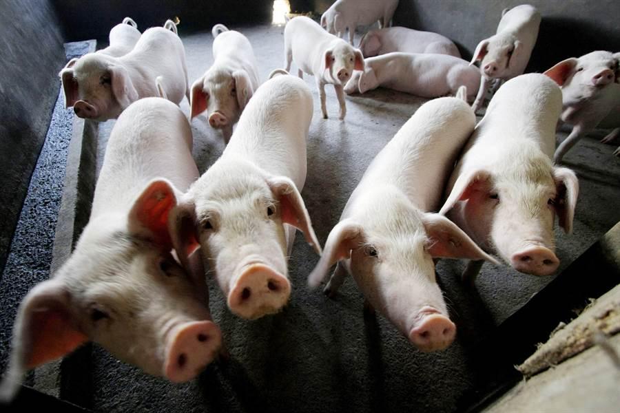 去年下半年國際上非洲豬瘟肆虐,生豬數量大幅減少,連帶著對大豆與玉米等飼料的需求快速下滑。圖為大陸江蘇常州的養豬場。(圖/美聯社)