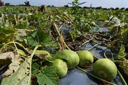 農損補助提高 桃園市府加入農業保險多保障