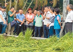 美濃水稻倒伏 每公頃救助1.8萬