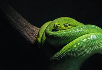 網購毒蛇當寵物 男醫院躺三天