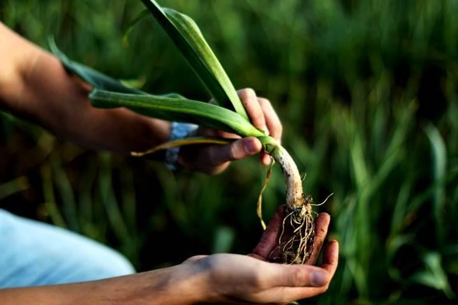 貿易戰讓美國農民叫苦連天,但是美國蒜農反而因此受惠。(圖/路透社)