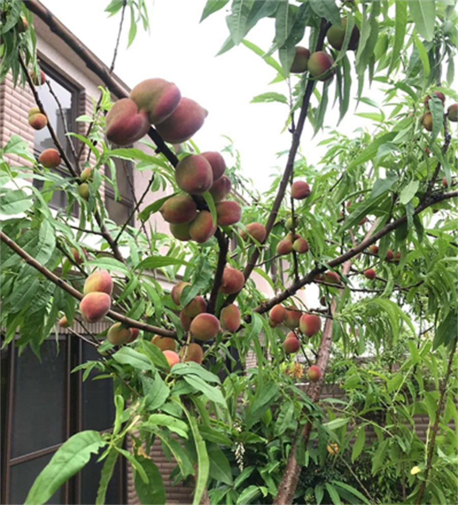 「深耕11」露台也能栽種出又大又甜的水蜜桃