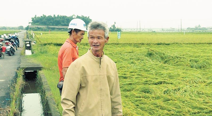 520大雨狂炸全台,台南市後壁區有部分稻作出現倒伏情形,但市府農業局表示未達到天然災害救助標準。(莊曜聰攝)