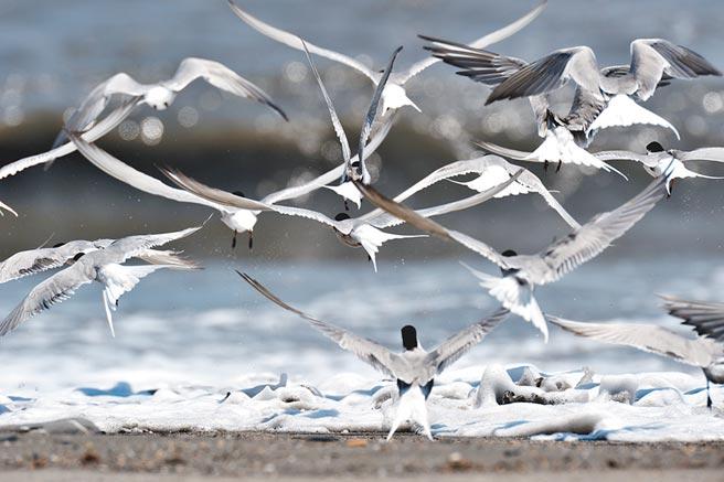 大群過境的「普通燕鷗」在卑南溪出海口現蹤。(莊哲權攝)