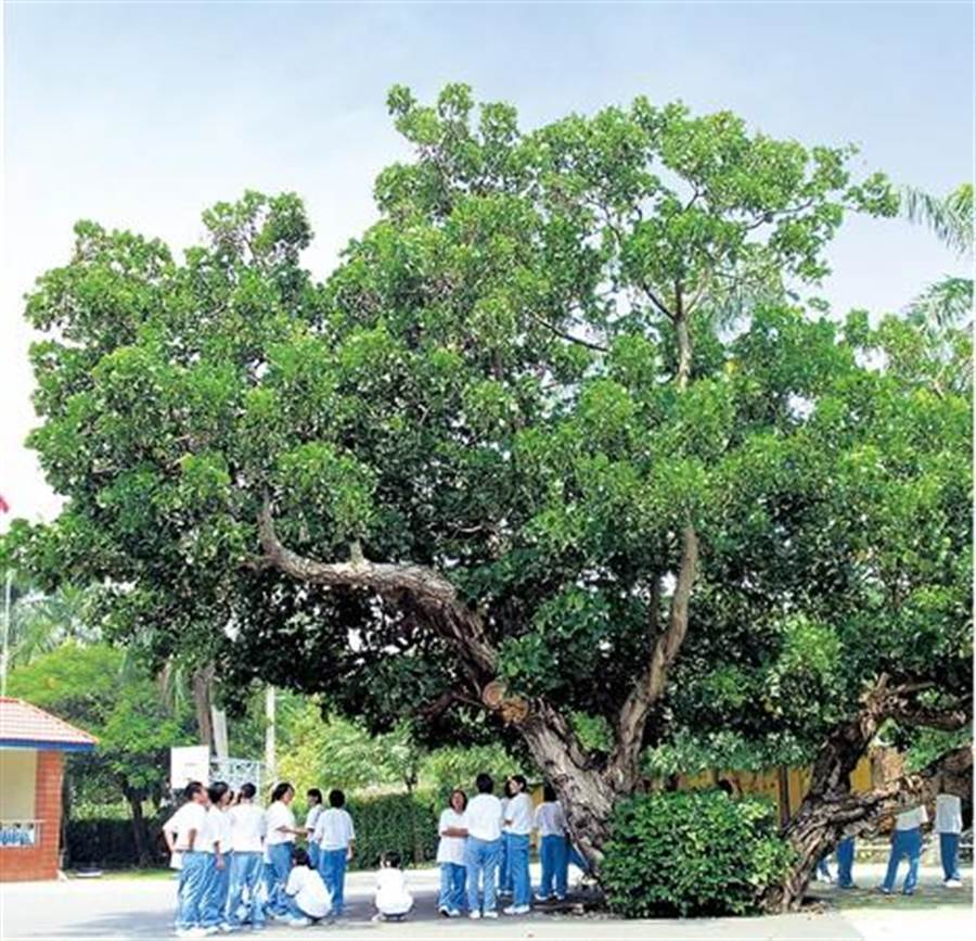 明台高中內的老莿桐樹與台灣四大名園「萊園」同一年誕生,見證古蹟校園的歷史與學子的成長。(明台高中提供)