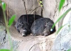 「豬窩」溫暖有創意!超萌野豬姊妹花愛築巢