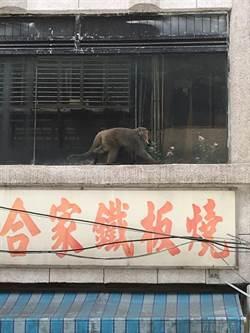 台灣獼猴流竄基隆市中心大樓 動保所喊抓