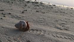 詭笑嬰兒頭沙灘散步 網知真相哭了