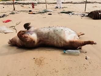 金門獅山漂流死豬 檢出非洲豬瘟