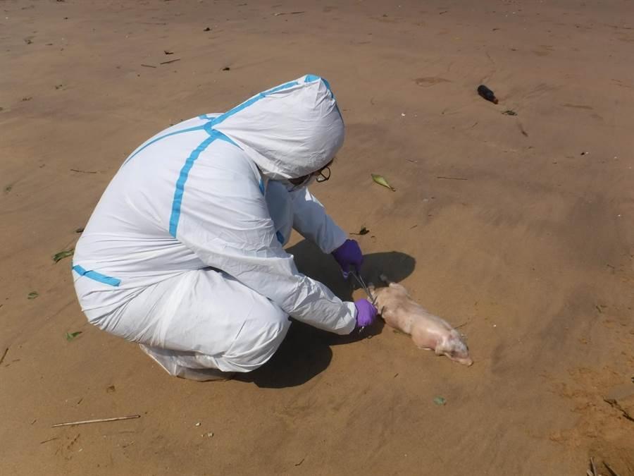 日前在金門漂流上岸的死豬(示意圖),被驗出非洲豬瘟病毒。(資料照/農委會提供)