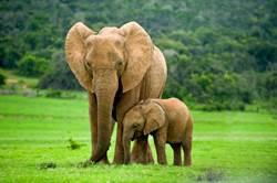 小象陪客累癱在地 遊客目擊超心碎