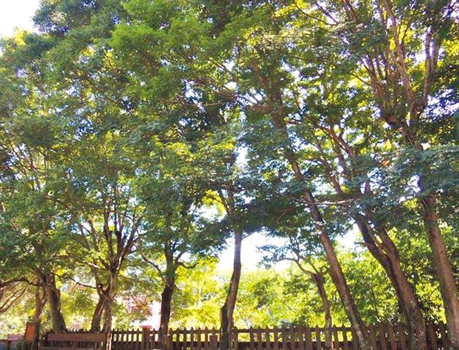 錦山國小內的槭樹,據傳為知名作家吳濁流近80年前所栽種,為校園內最美的風景之一。(莊旻靜翻攝)