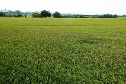 水稻保險納保者低 雲林縣府籲天然災害救助金提高