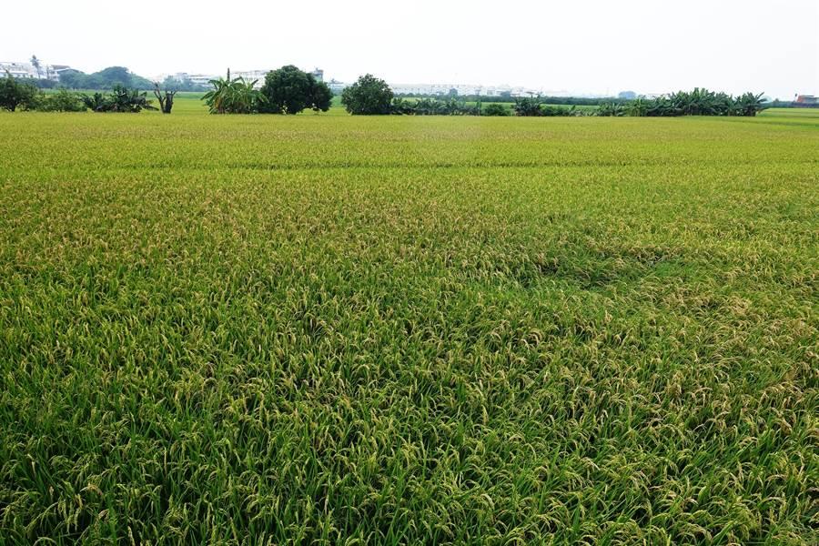 雲林縣的稻米產量全台最高,但兩年來投保水稻保險者只有在3%至5%。(周麗蘭攝)