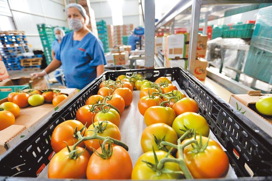 墨西哥番茄遭美課稅圖╱路透