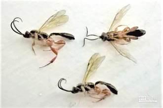 小心!隱翅蟲入侵 千萬不要拍死