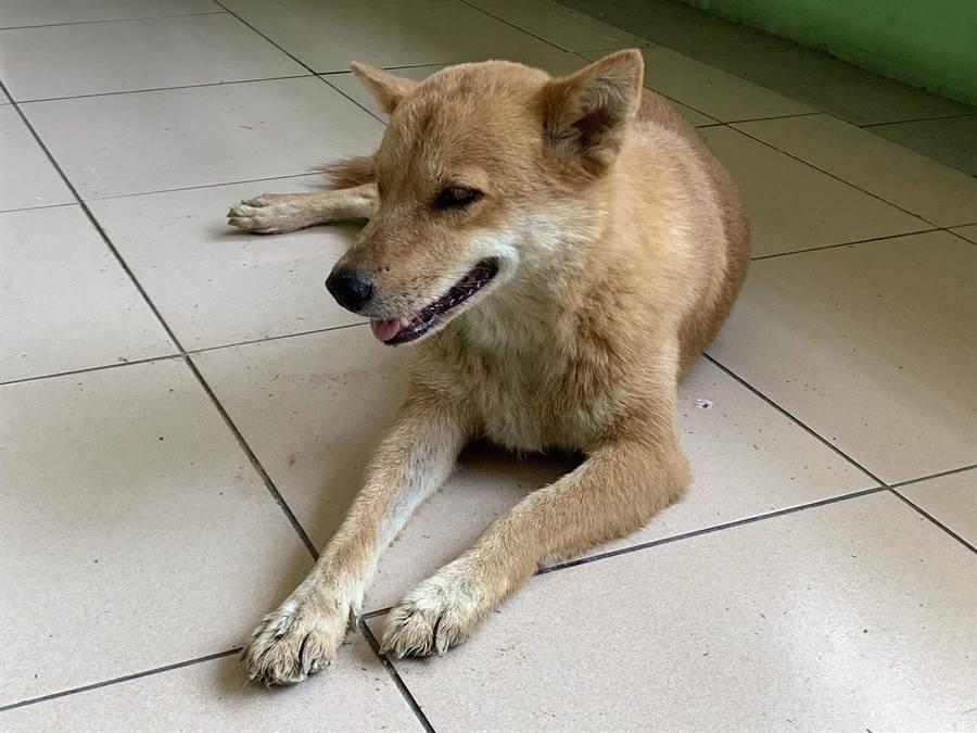 高雄市鼎金國中校犬「琪琪」,白天是孩子們的玩伴,晚上則守護校園安全。(柯宗緯攝)
