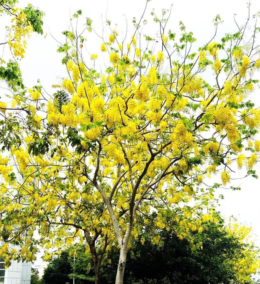 有「黃金雨」之稱的阿勃勒,吸引很多民眾賞花拍照。(盧金足攝)