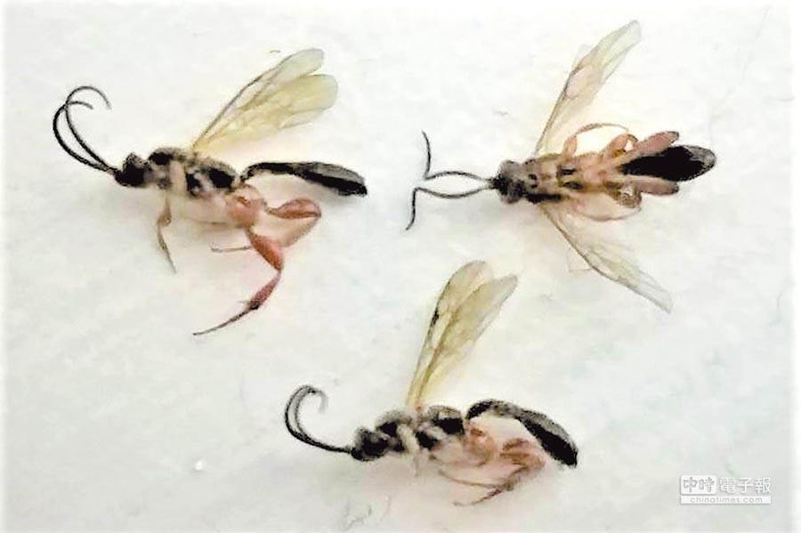 隱翅蟲汁液很毒,會讓皮膚潰爛,水稻採收期及雨季是大量出沒期,大家要小心。(本報資料照片)