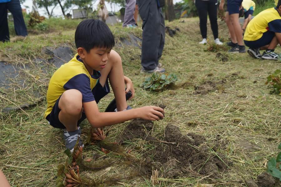 有別於以往在水田種菱角,官田國小師生嘗試採用乾式種植法。(劉秀芬攝)