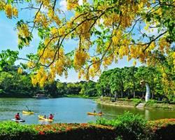 端午遊台南!划龍舟、賞蓮花、黃金雨飆夢幻