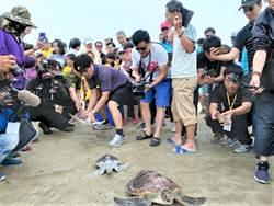 澎湖野放18隻綠蠵龜 500學童見證