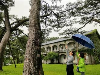 松園別館多棵老松遭松材線蟲侵害 樹醫師診斷治療
