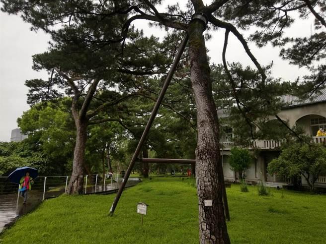 花蓮市松園別館百年老松數棵遭松材線蟲侵害。(范振和攝)