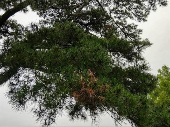 花蓮市松園別館百年老松遭松材線蟲侵害,部分枝葉已枯萎。(范振和攝)