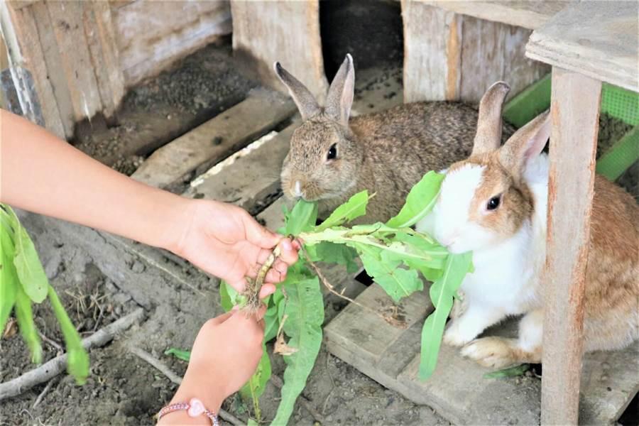 二林鎮興華國小的校兔閃電小白和妮妮,在全校師生的細心呵護照料下,健康有活力,成為全校最愛的兔寶貝,也是偏遠迷你小學生命教育最佳活教材。(謝瓊雲攝)