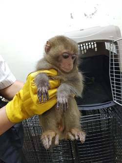 私養台灣獼猴 原住民首犯沒被罰 猴子終身收容