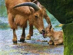 牠受傷在母羊宿舍養傷!竟享「齊人之福」還當爸爸了
