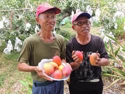 「綠農的家」實驗14年證實3贏農法 愛文芒果自然熟超甜