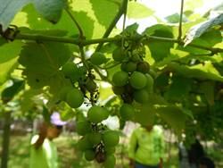 釀酒葡萄結果率低 外埔、后里農民叫苦