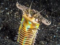 從地心竄出! 這蠕蟲連章魚都撕裂