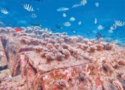 海中種樹10年 澎湖珊瑚欣欣向榮