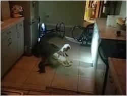 不速之客 深夜鱷魚闖入女子熟睡住處還喝了紅酒