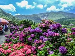 台灣之美》竹子湖繡球花大開